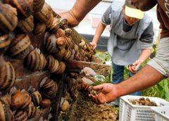 Caracoles originarios del Caribe y Sudamérica amenazan las plantaciones en Europa…