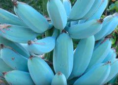Estos plátanos son azules y tienen el sabor a helado de vainilla…